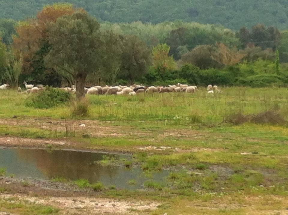 Pecore sul 'terreno a riposo'